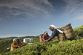 Tea pickers working in the plantations in front of the Tea Factory Hotel, Nuwara Eliya, Central Province, Sri Lanka