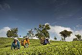 Tea pickers at work n the Tea Factory's plantations, Nuwara Eliya, Central Province, Sri Lanka