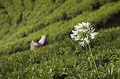 Agapanthas flower in tea plantations, Nuwara Eliya, Central Province, Sri Lanka