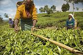 A tea picker uses her cane as a level to pick down to, Nuwara Eliya, Central Province, Sri Lanka