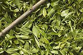 Tea leaves and picker's cane, Nuwara Eliya, Central Province, Sri Lanka