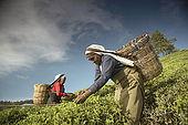 Tea pickers on the slopes of the tea plantation, Nuwara Eliya, Central Province, Sri Lanka, Ceylon.