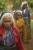 Tea pickers in the tea plantation, Nuwara Eliya, Central Province, Sri Lanka, Ceylon.