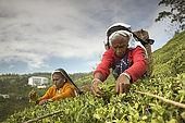 Tea pickers on the slopes of the tea plantation with tea factory in background, Nuwara Eliya, Central Province, Sri Lanka, Ceylon.