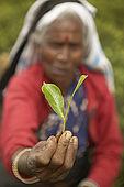 Tea picker holding a tea leaf, Nuwara Eliya, Central Province, Sri Lanka