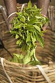 Tea picker holding tea leaves and basket, tea plantation, Nuwara Eliya, Central Province, Sri Lanka, Ceylon.