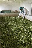 Freshly picked leaves are dried in the Tea Factory Hotel's mini tea factory, Nuwara Eliya, Central Province, Sri Lanka
