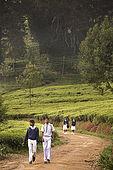 School drildren walk to school through the tea plantations, Nuwara Eliya, Central Province, Sri Lanka, Ceylon.
