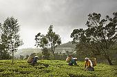 Tea pickers plucking fresh tea leaves in front of tea factory, Nuwara Eliya, Central Province, Sri Lanka, Ceylon.