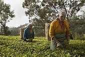 Tea pickers plucking fresh tea leaves, Nuwara Eliya, Central Province, Sri Lanka, Ceylon.