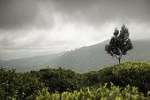 Mist rolls into the tea plantations, Nuwara Eliya, Central Province, Sri Lanka