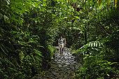 Sentiero nella foresta pluviale vicino a La Soufriere, Parc National de la Guadeloupe, Guadeloupe (Basse Terre), French West Indies
