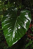 Foresta pluviale di La Soufriere, Parc National de la Guadeloupe, Guadeloupe (Basse Terre), French West Indies