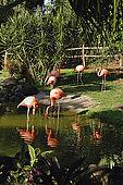 Fenicotteri rossi al Giardino Botanico, Deshaies, Guadeloupe (Basse Terre), French West Indies. tel: 0590 284302