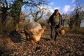France, Lot, Quercy region vers le village Lalbenque producteur de truffes recherche de truffes en janvier avec un cochon; model release OK