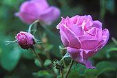 Rose, Dades Valley, Morocco