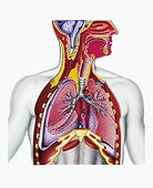 Medicine - Anatomy - Respiratory system. Section drawing.