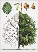 European Beech (Fagus sylvatica), illustration Biology: Botany, Plants