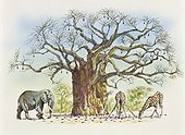 Botany - Trees - Bombacaceae or Malvaceae - Baobab tree (Adansonia gregorii) surrounded by animals eating its fruits. Illustration.