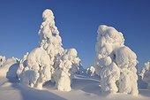 Snow Covered Trees, Rukatunturi, Kuusamo, Northern Ostrobothnia, Finland