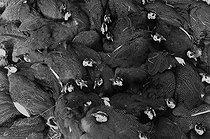 Roger-Viollet | 177919 | Agriculture. Guinea-fowls. Corrèze (France), 1965-1967. Photograph by Jean Marquis (1926-2019). | © Jean Marquis / Roger-Viollet