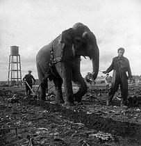 Roger-Viollet   221112   World War II. Occupation. The Amar circus settled in a farm near Blois (Loir-et-Cher). Elephant ploughing, 1941.   © Pierre Jahan / Roger-Viollet