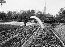 Roger-Viollet | 336184 | Arrosage des salades. France, vers 1925. | © Jacques Boyer / Roger-Viollet