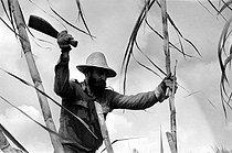 Roger-Viollet | 363080 | Fidel Castro (1926-2016), Cuban revolutionary and statesman, cutting the sugar cane. Cuba, 1970. | © Gilberto Ante / Roger-Viollet