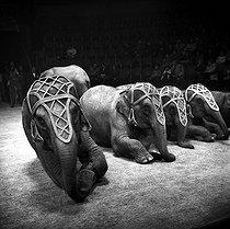 Roger-Viollet | 372377 | Medrano circus. Elephants. Paris, circa 1955. | © Studio Lipnitzki / Roger-Viollet