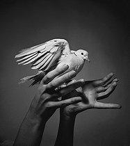 Roger-Viollet   376040   Turtledove in hands.   © Pierre Jahan / Roger-Viollet