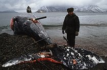 Roger-Viollet | 410156 | Bering Strait. Back to the village of Chaplino, Provideniya area (Russia), after the whaling, 1991. | © Jean-Paul Guilloteau / Roger-Viollet
