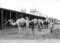 Roger-Viollet | 423632 | Suez (Egypt). Grooming the dromedaries of the Egyptian army. 1912. | © Jacques Boyer / Roger-Viollet