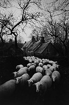 Roger-Viollet | 439441 | Agriculture. Sheepfold. Corrèze (France), 1965-1967. Photograph by Jean Marquis (1926-2019). | © Jean Marquis / Roger-Viollet