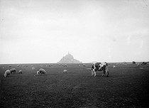 Roger-Viollet | 458031 | Cows and sheeps grazing. Mont-Saint-Michel (France). | © Jacques Boyer / Roger-Viollet