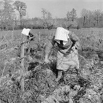 Roger-Viollet | 494301 | Women working in the vineyards, 1959. Photograph by Janine Niepce (1921-2007). | © Janine Niepce / Roger-Viollet