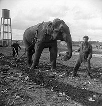 Roger-Viollet | 543896 | World War II. Occupation. The Amar circus put away in a farm near Blois (Loir-et-Cher). Elephant taking part in ploughing, 1941. | © Pierre Jahan / Roger-Viollet