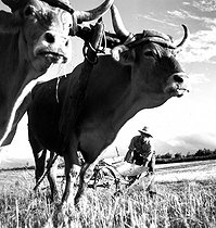 Roger-Viollet | 565758 | Farm works : ploughing. France, circa 1935. | © Gaston Paris / Roger-Viollet