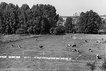 Roger-Viollet | 635842 | Cows on a soccer pitch. Moret-sur-Loing (Seine-et-Marne, France), 1980. | © Jean-Pierre Couderc / Roger-Viollet
