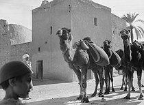 Roger-Viollet | 650419 | Camels in the South of Algeria, circa 1930. | © Laure Albin Guillot / Roger-Viollet