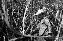 Roger-Viollet | 659943 | Raúl Castro cutting the sugar cane. Cuba, 1970. | © Gilberto Ante / Roger-Viollet