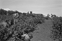 Roger-Viollet | 681669 | Algerian War of Independence. Cherchell Infantry Military School. During the training sessions around Cherchell, the rural life goes on: the grape harvests. Algeria, August 1960. | © Jean-Pierre Laffont / Roger-Viollet