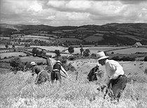Roger-Viollet | 720913 | Oat harvest. France, 1941. | © Jacques Boyer / Roger-Viollet