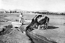 Roger-Viollet | 830167 | Dromedaries drinking at the seguia near Biskra, Algerian Sahara. | © Neurdein / Roger-Viollet