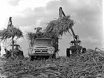 Roger-Viollet | 846001 | Cuba. Record harvest of 10 millions of tons of sugar cane. 1970. | © Gilberto Ante / Roger-Viollet