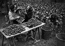 Roger-Viollet | 861456 | Grape harvest in Montmartre, rue des Saules. Paris, October 1941. | © LAPI / Roger-Viollet