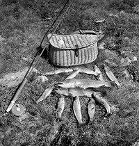 Roger-Viollet   879271   Tableau de pêche : truites Fario et moulinet Silentreel (Pezon-et-Michel), vers 1950.   © Tony Burnand / Roger-Viollet
