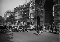 Roger-Viollet | 908238 | World War II. Liberation of Paris, herd of cows brought in Paris as supllies for the Parisians. Paris, faubourg Saint-Martin, September 1944. | © LAPI / Roger-Viollet
