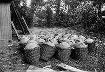 Roger-Viollet | 936663 | Bleach demijohns intended to purify water of the Marne. Factory of Saint-Maur (Val-de-Marne) of the Municipal service of water of Paris. About 1920. | © Albert Harlingue / Roger-Viollet