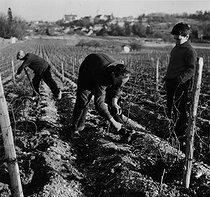 Roger-Viollet | 957412 | Wine-growers pruning vines, 1963. Photograph by Janine Niepce (1921-2007). | © Janine Niepce / Roger-Viollet
