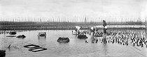 Roger-Viollet | 977261 | Oyster bed. Arcachon Bay (Gironde), around 1900. | © Neurdein / Roger-Viollet